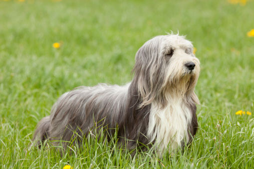 alert bearded collie in the nature