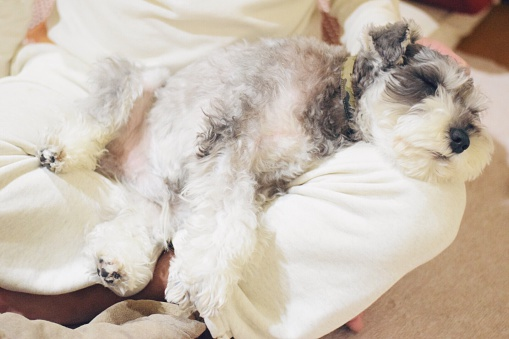 High Angle View Of Miniature Schnauzer Sleeping On Lap At Home