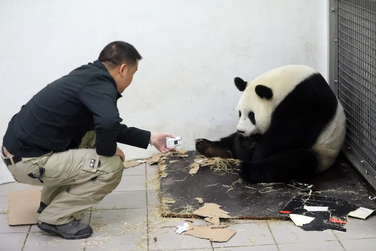 "This handout picture taken and released on June 2, 2016 by the Paira Daiza shows a man checking female Giant Panda Hao Hao after she gave birth at the Paira Daiza zoologic parc. A giant panda on loan to Belgium from China has given birth to a cub, a rare event for the endangered species, the Pairi Daiza zoo said on June 2, 2016. The zoo and the China Conservation and Research Center for the Giant Panda ""have the great pleasure to announce the birth of a panda cub"", Pairi Daiza said in a statement.""Less than 2,000 pandas can be found in the wild, making every birth a true miracle"", it said. / AFP PHOTO / Paira Daiza / Benoit Bouchez / RESTRICTED TO EDITORIAL USE - MANDATORY CREDIT ""AFP PHOTO / PAIRA DAIZA / BENOIT BOUCHEZ- NO MARKETING NO ADVERTISING CAMPAIGNS - DISTRIBUTED AS A SERVICE TO CLIENTS"