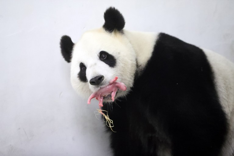 "This handout picture taken and released on June 2, 2016 by the Paira Daiza shows female Giant Panda Hao Hao holding her cub in her mouth at the Paira Daiza zoologic parc. A giant panda on loan to Belgium from China has given birth to a cub, a rare event for the endangered species, the Pairi Daiza zoo said on June 2, 2016. The zoo and the China Conservation and Research Center for the Giant Panda ""have the great pleasure to announce the birth of a panda cub"", Pairi Daiza said in a statement.""Less than 2,000 pandas can be found in the wild, making every birth a true miracle"", it said. / AFP PHOTO / Paira Daiza / Benoit Bouchez / RESTRICTED TO EDITORIAL USE - MANDATORY CREDIT ""AFP PHOTO / PAIRA DAIZA / BENOIT BOUCHEZ- NO MARKETING NO ADVERTISING CAMPAIGNS - DISTRIBUTED AS A SERVICE TO CLIENTS"