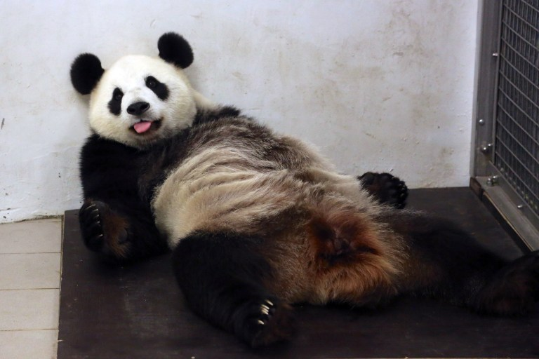 "This handout picture taken and released on June 2, 2016 by the Paira Daiza shows female Giant Panda Hao Hao after giving birth at the Paira Daiza zoologic parc. A giant panda on loan to Belgium from China has given birth to a cub, a rare event for the endangered species, the Pairi Daiza zoo said on June 2, 2016. The zoo and the China Conservation and Research Center for the Giant Panda ""have the great pleasure to announce the birth of a panda cub"", Pairi Daiza said in a statement.""Less than 2,000 pandas can be found in the wild, making every birth a true miracle"", it said. / AFP PHOTO / Paira Daiza / Benoit Bouchez / RESTRICTED TO EDITORIAL USE - MANDATORY CREDIT ""AFP PHOTO / PAIRA DAIZA / BENOIT BOUCHEZ- NO MARKETING NO ADVERTISING CAMPAIGNS - DISTRIBUTED AS A SERVICE TO CLIENTS"