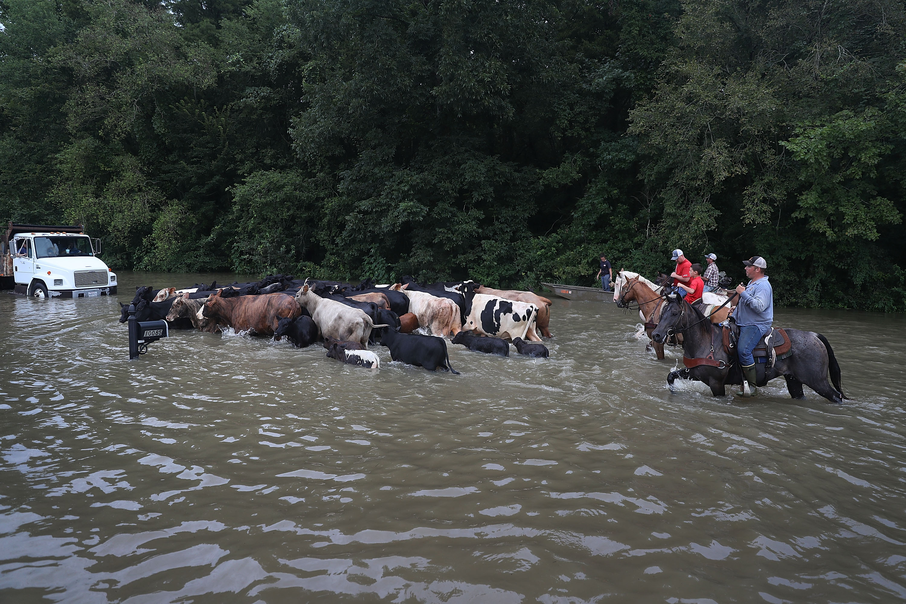 SORRENTO, LA - AUGUST 16: Cattle are driven through a flooded road as they are herded to trucks to be brought to dry land on August 16, 2016 in Sorrento, Louisiana. Starting last week Louisiana was overwhelmed with flood water causing at least seven deaths and thousands of homes damaged by the flood waters. Joe Raedle/Getty Images/AFP