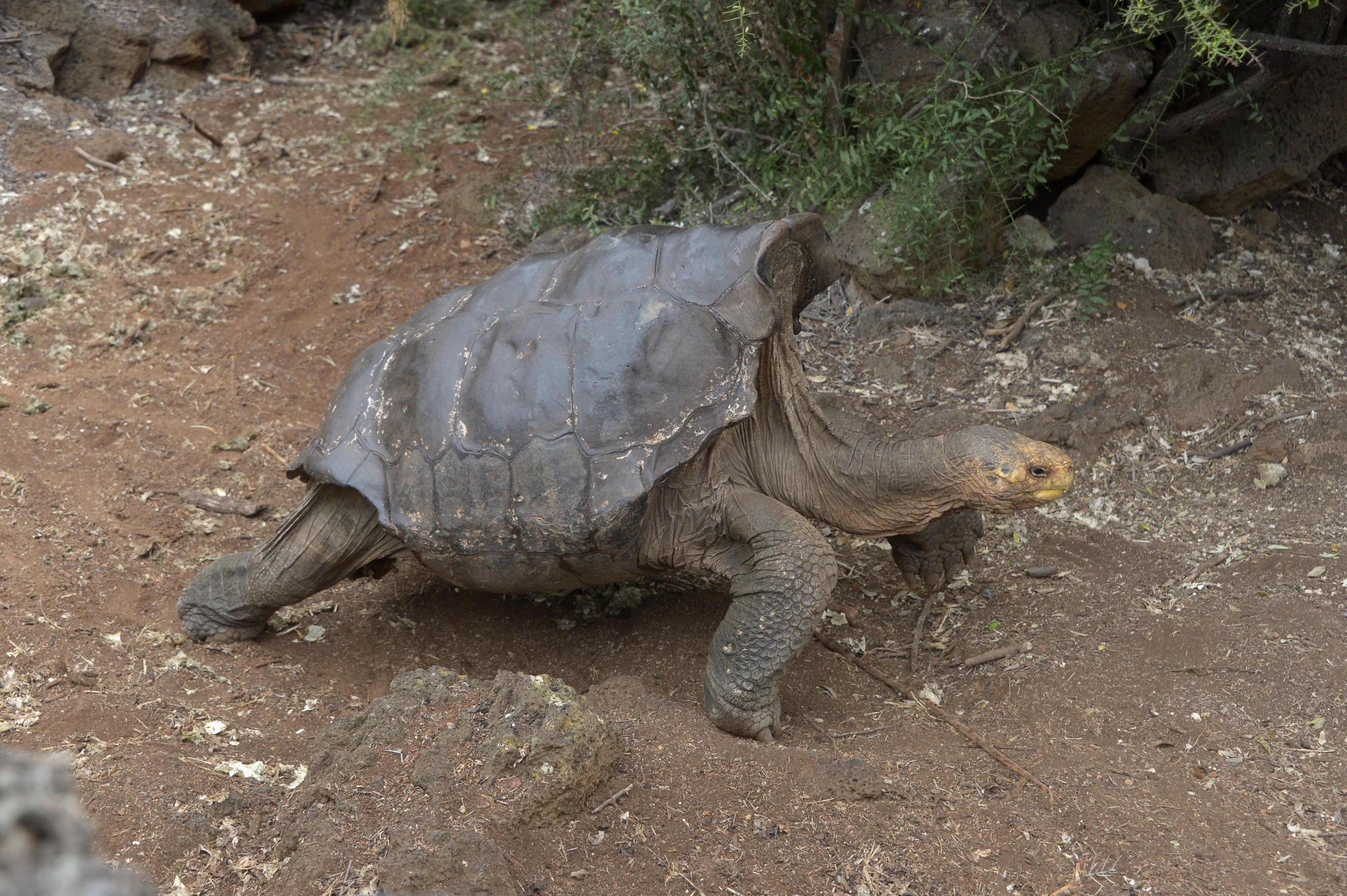 Tortuga de las Galápagos - PULZO.COM