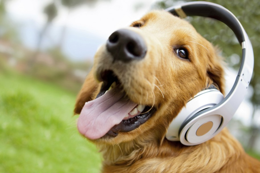 Golden retriever dog with tongue out wearing headphones