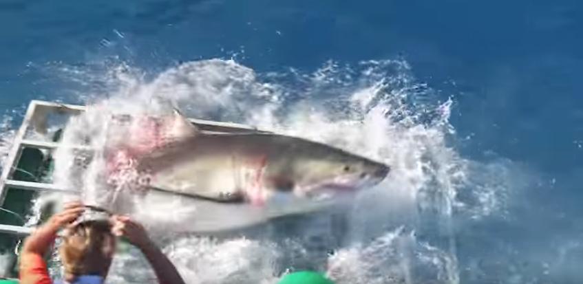 Tiburón blanco se metió a jaula donde estaba un buzo. Pulzo.com