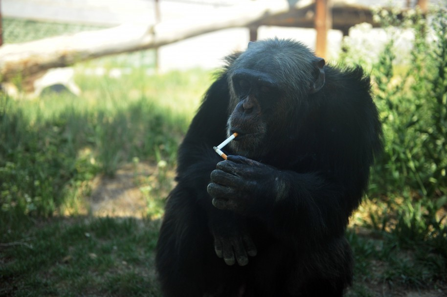 Chimpancé que fuma en China