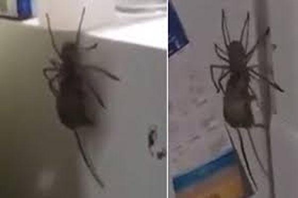 Araña llevándose un ratón.