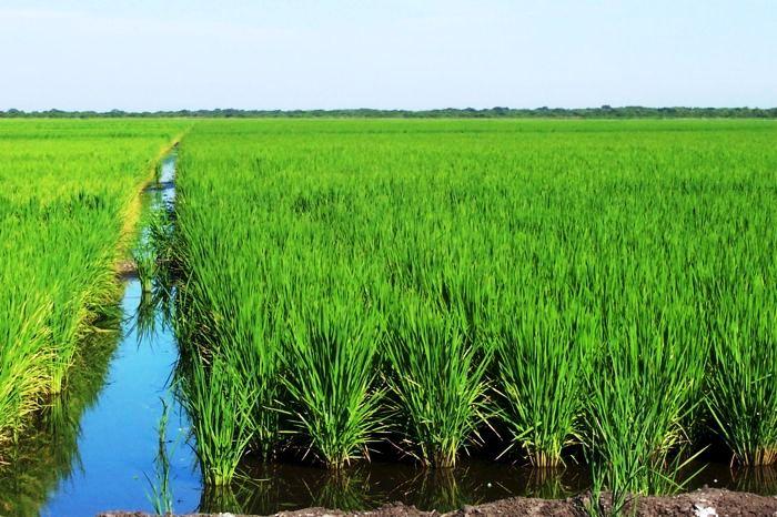 Cultivo de arroz en Arauca
