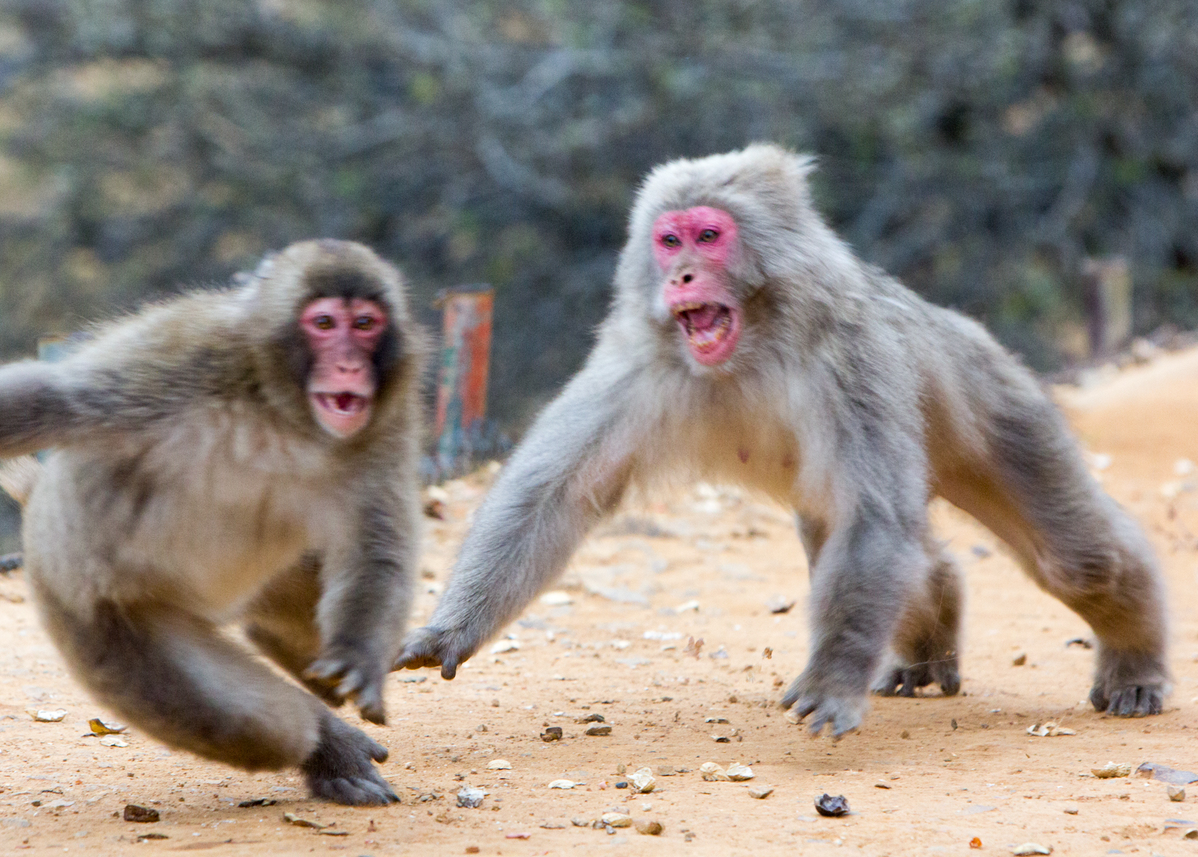 Dos primates pelean