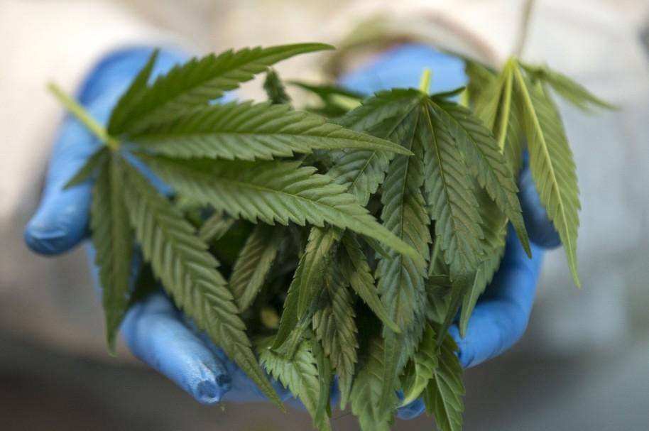 Producción de Cannabis