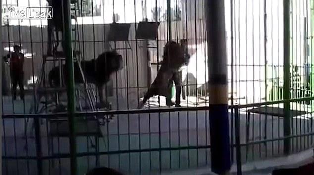 León atacó y mató a su domador.