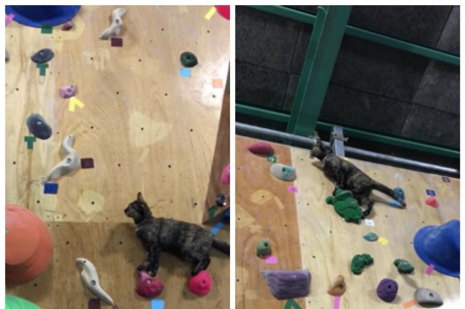Una gata subió un muro de escalar en un gimnasio de Japón. Pulzo.com