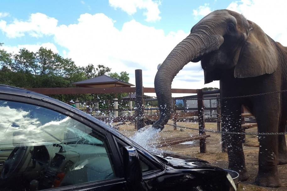Elefante 'lavando' carros