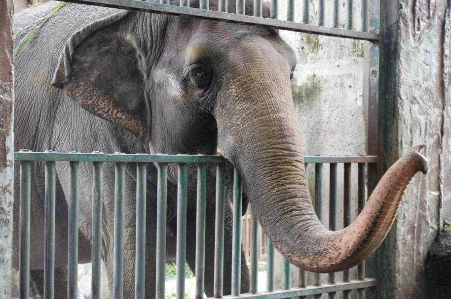 Mali, elefante del zoológico de Manila.