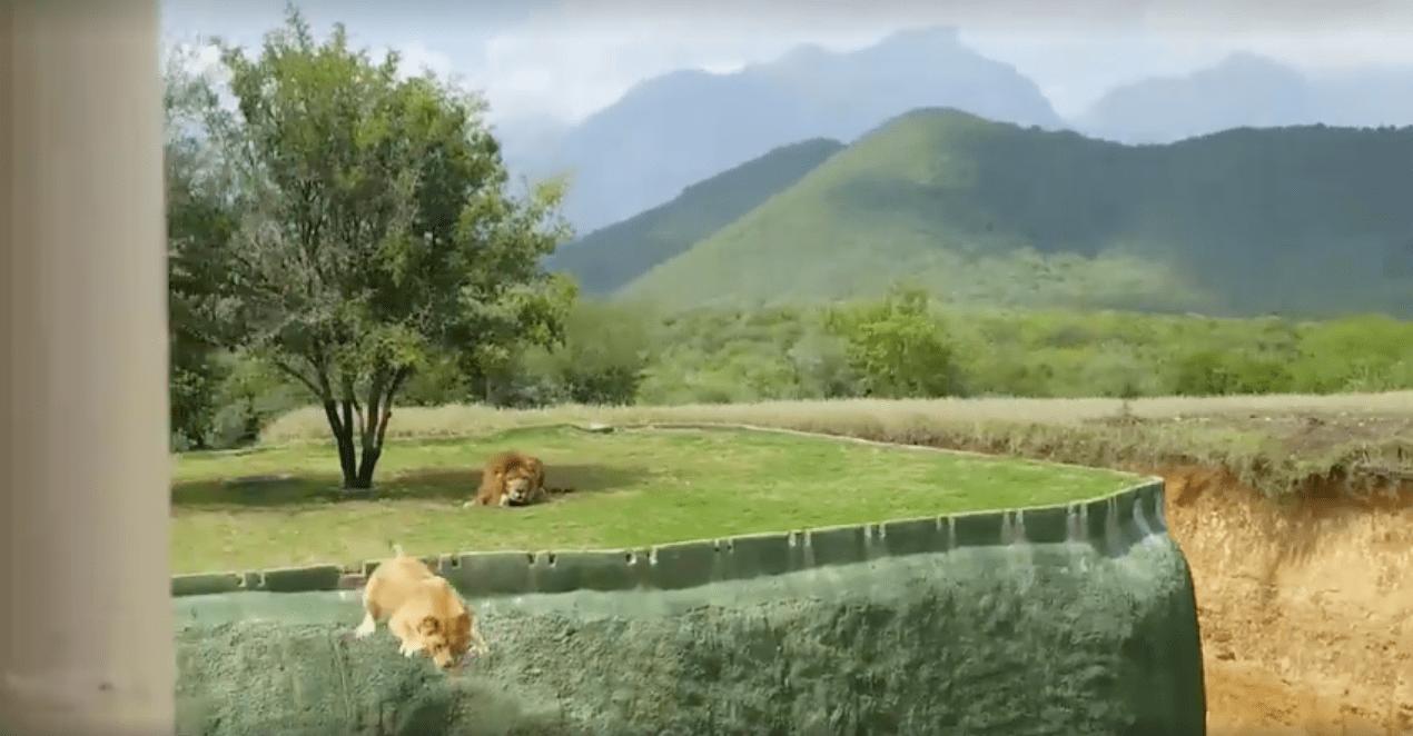 Leona saltando para atacar a visitantes de zoológico. Pulzo.com