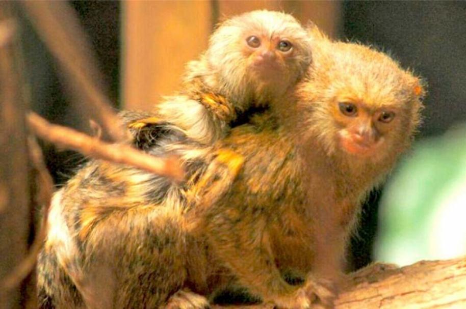 Monos titís