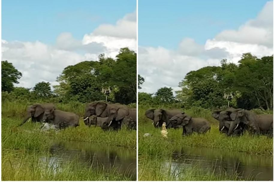 Cocodrilo ataca elefante.