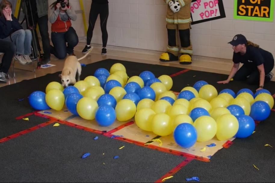 Perro explota globos.