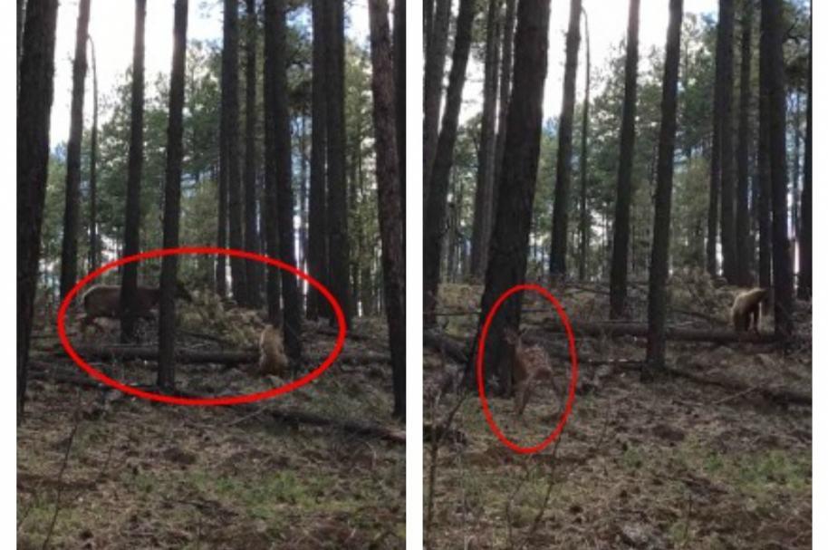 Alce patea a oso y logra que su cría escape.  Pulzo.com