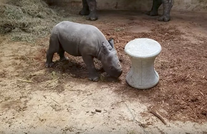 Rinoceronte negro bebé jugando. Pulzo.com