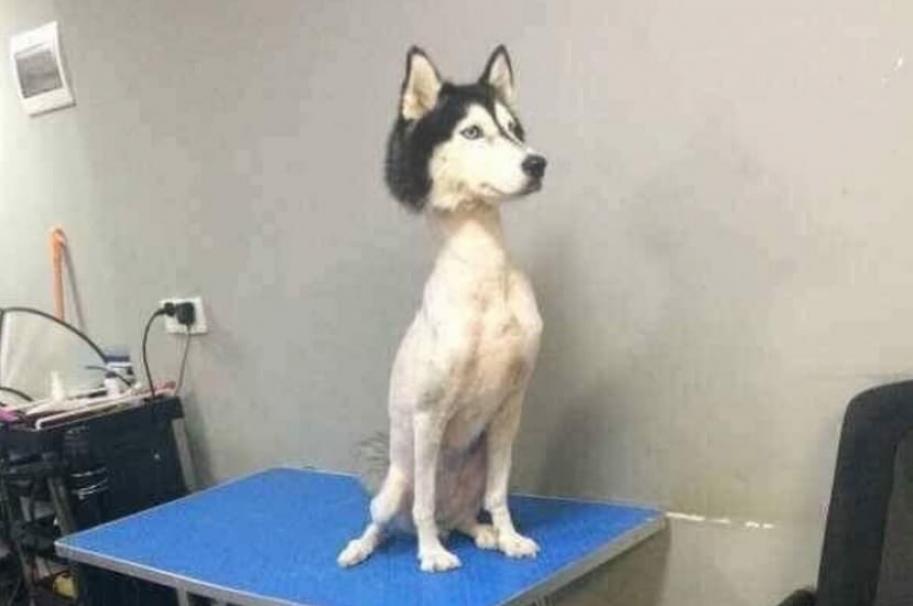 Perro husky siberiano rapado