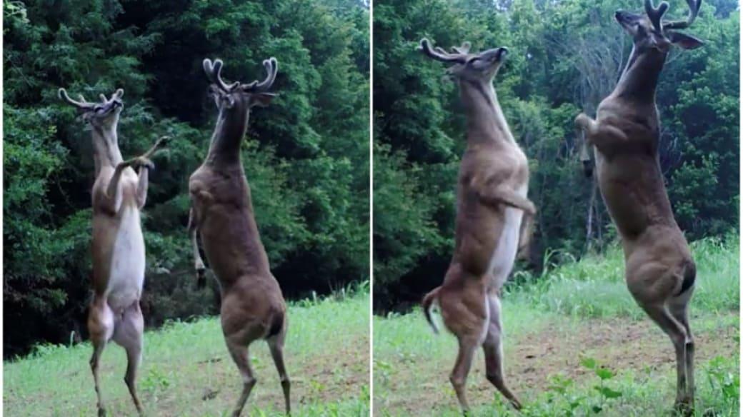 Venados pelean.