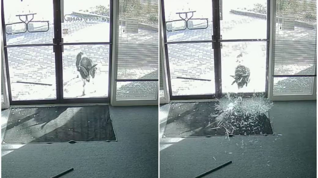 Cabra rompe vidrio de oficinas.