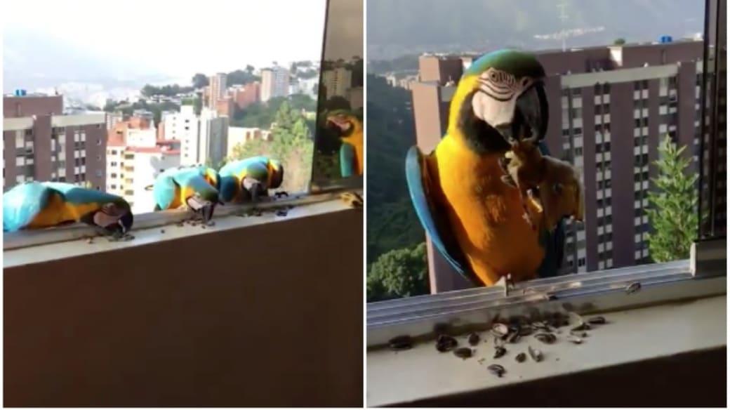 Guacamayas en una ventana.