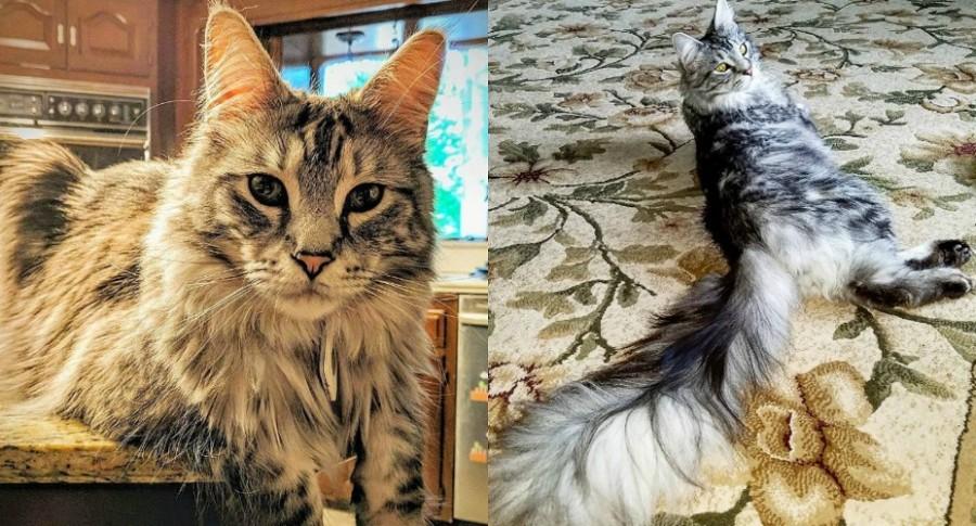 Gato con la cola más larga del mundo