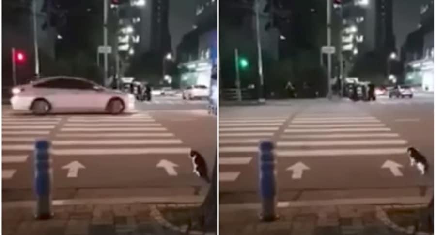 Gato cruza vía en semáforo en verde.