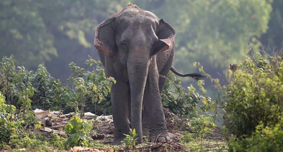 Elefante. Pulzo.