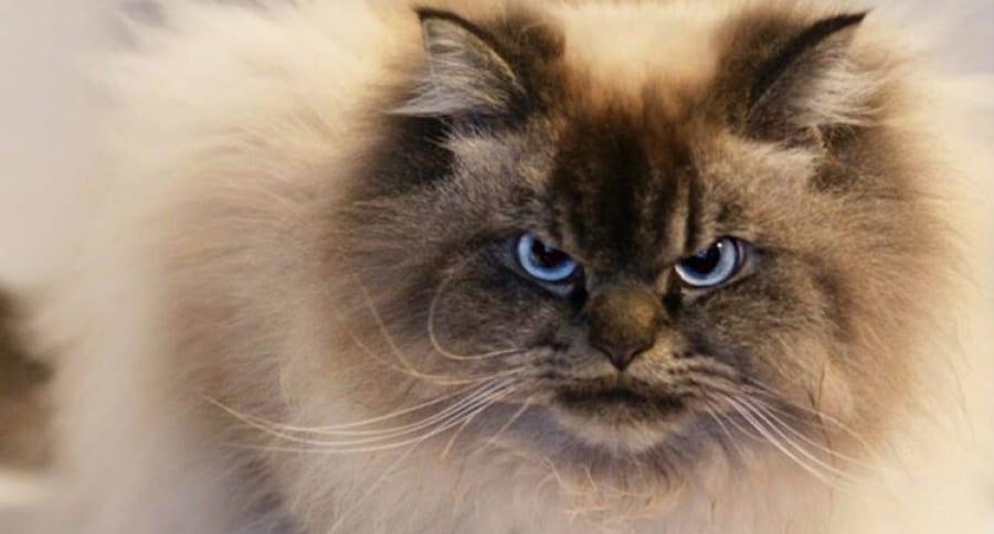 Merlin, gato con cara de enojo. Pulzo.