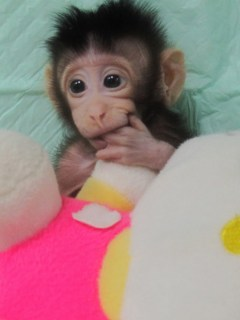 Primeros monos clonados
