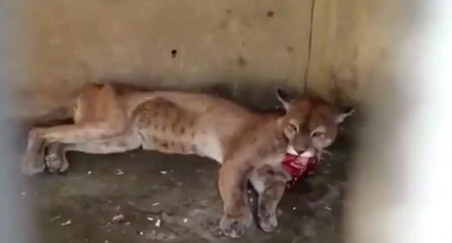 Puma llorando