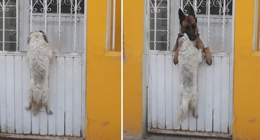 Perros reja