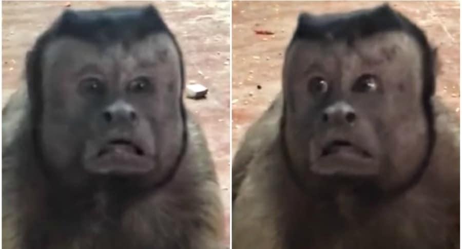 Mono con rostro humano.
