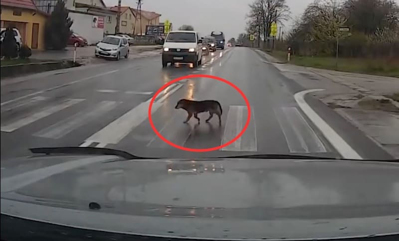 Perro cruzando la calle