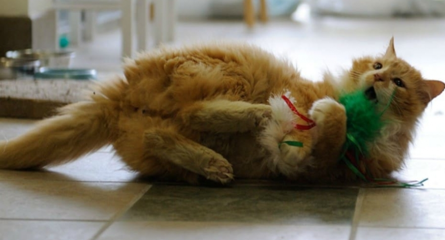 Gato que fue abandonado en EE. UU.