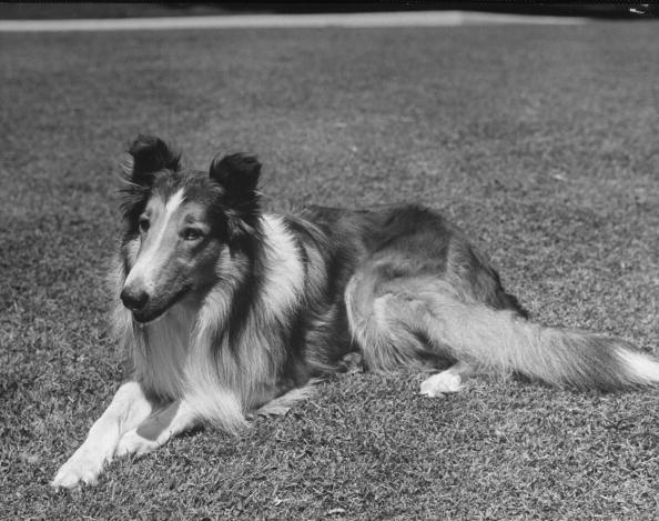 Full-length view of collie Lassie lying in grass. (Photo by John Florea/The LIFE Picture Collection/Getty Images)